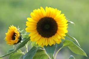 See it grew into lovely Sunflower