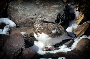 I am a Ptarmigan can you see my summer feathers changing for winter?
