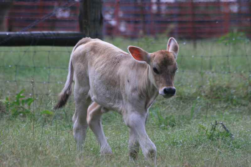 Look at the baby calf