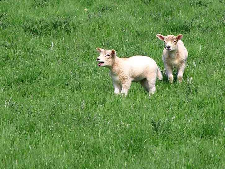 Baby sheep are called Lambs
