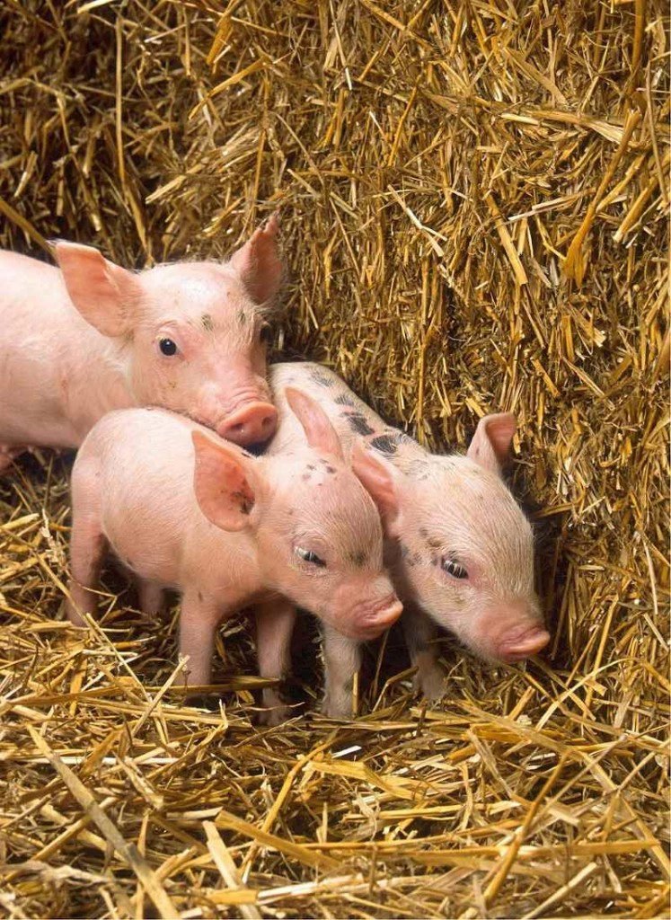 Look at the little piglets