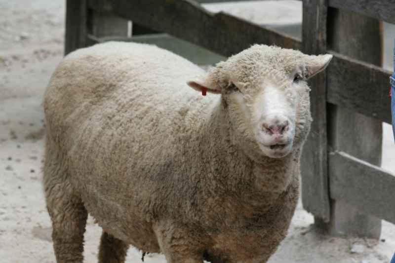 The mummy sheep is called a Ewe.