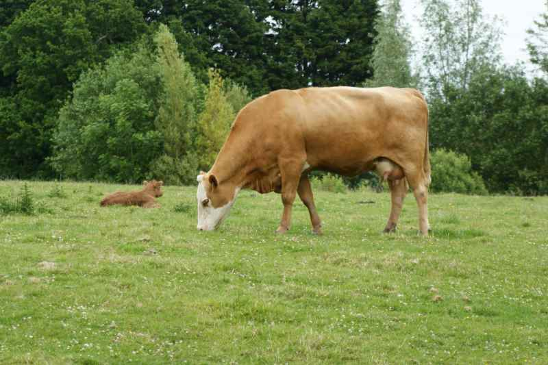 This is a Cow. I wonder is this the Calf's mummy?