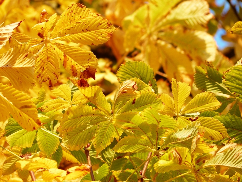 chestnut-tree-leaves-in-autumn