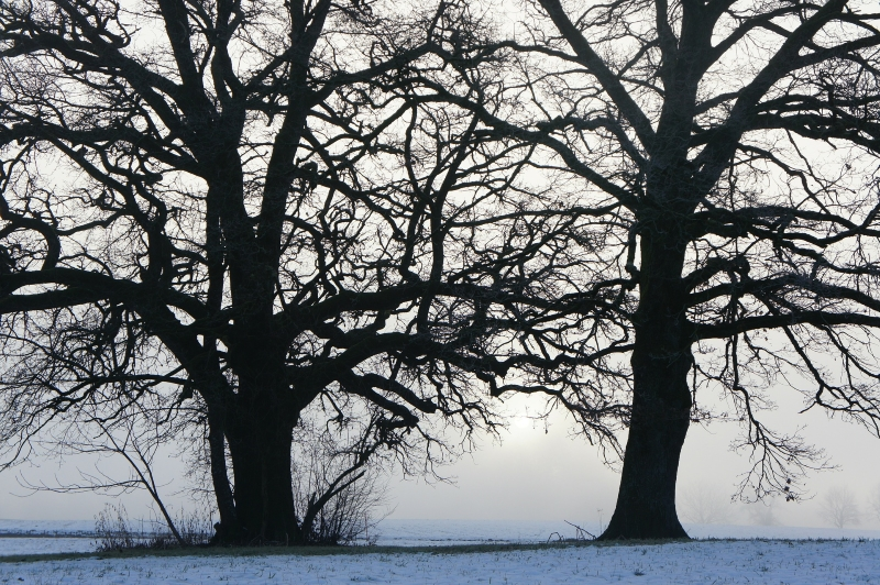 trees-in-winter-source-pixabay
