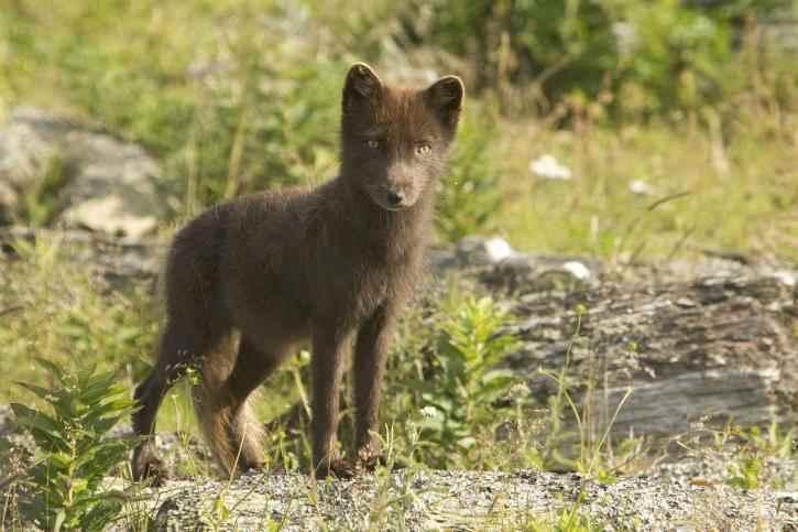 arctic-fox-brown-summer-coat