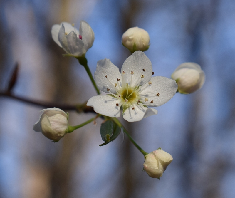 wild-cherry-blossoms-in spring