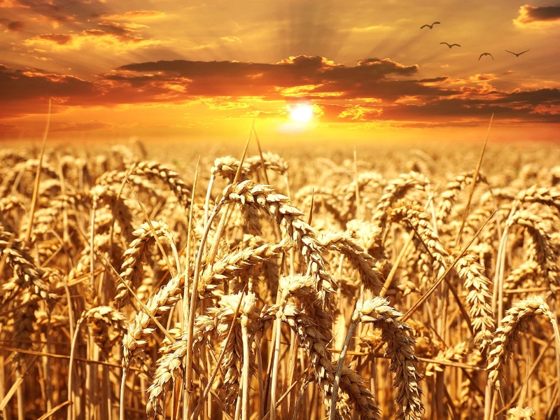 Can you see all the Wheat ready for harvest ?