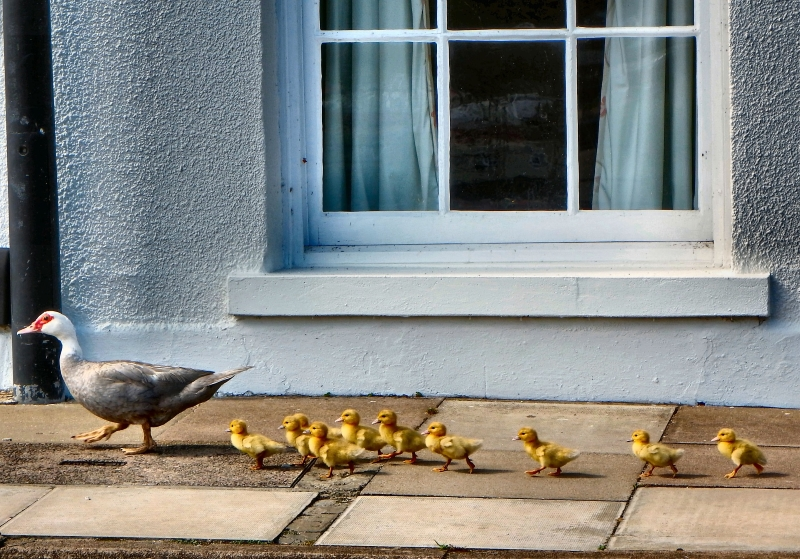 Mummy-Duck-&-Ducklings