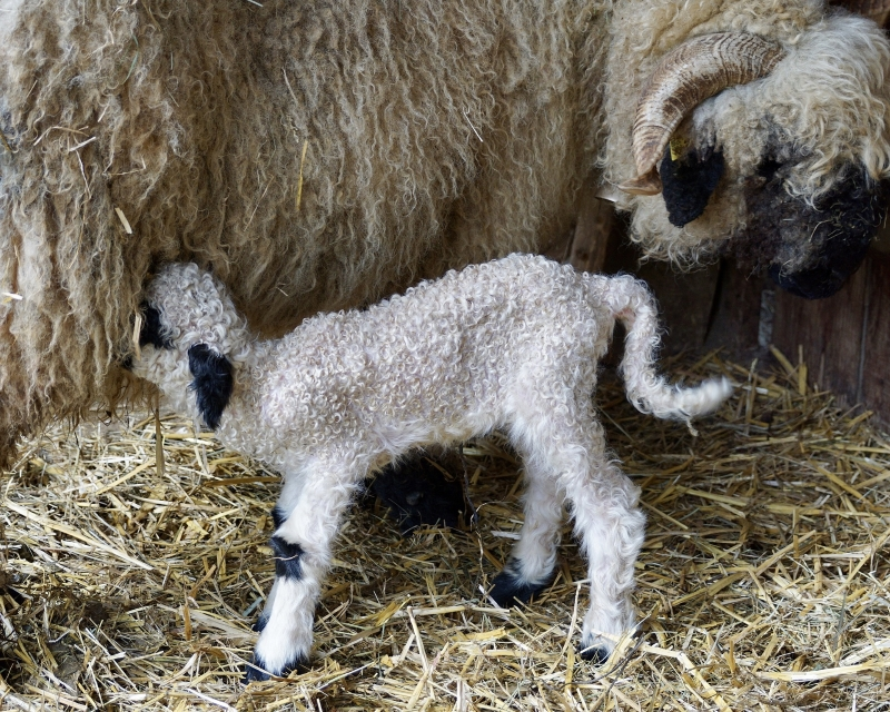 Can you see the little lamb drinking milk from it's Mummy?