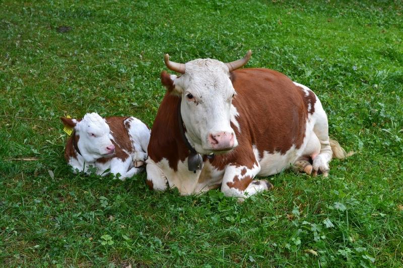cow-&-calf