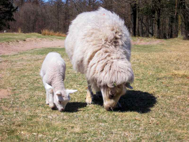 mummy ewe and baby lamb by Ericpruis morguefile